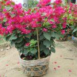 Kinh nghiệm trồng hoa giấy cho hoa quanh năm