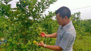 Chanh đào cho nhiều quả nếu chăm sóc cây tốt
