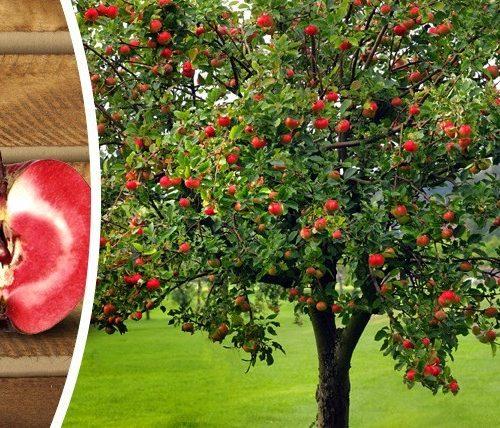Tìm hiểu về cây táo ruột đỏ nổi tiếng