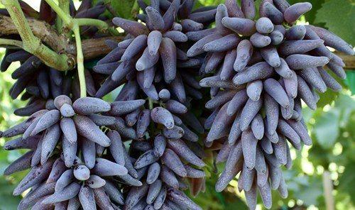 Nho móng tay, một loại trái cây độc lạ
