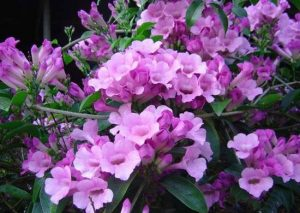 Cây hoa leo ánh hồng cực kỳ sai hoa
