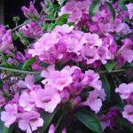 Hoa leo dây ánh hồng – cách trang trí hoa leo dây ánh hồng