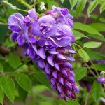 Hoa Tử Đằng – Cách trồng và chăm sóc cây hoa tử đằng