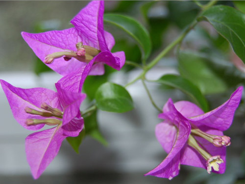 Cách trồng hoa giấy đơn giản