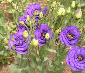 Hoa cát tường-loài hoa may mắn