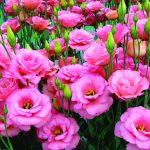 Hoa cát tường – loài hoa của sự may mắn, tài lộc