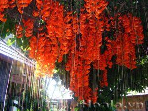 Hoa móng cọp đỏ lung linh trước gió