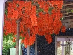 Hoa móng cọp đỏ dễ trồng và chăm sóc