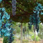 Hoa móng cọp xanh – Cách trồng hoa móng cọp xanh cho hoa đẹp