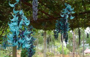 Hoa móng cọp xanh huyền bí