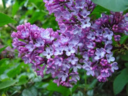 Cây hoa tử đinh hương – cách trồng và chăm sóc cây hoa tử đinh hương