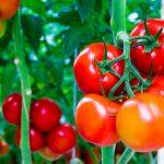 Tìm hiểu về giống cà chua đỏ truyền thống
