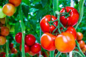 cây cà chua1