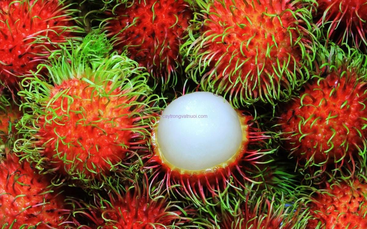 Cây chôm chôm – Công dụng của cây chôm chôm