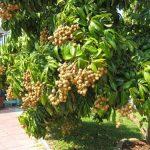 Cách trồng và chăm sóc cây nhãn sớm Hưng Yên