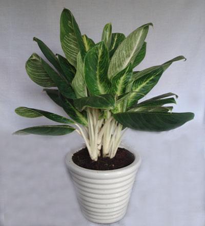 Kỹ thuật trồng và chăm sóc cây bạch mã hoàng tử như nào?