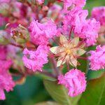 Cây hoa tường vi – cách trồng và chăm sóc cây hoa tường vi