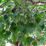 Cây bồ đề – loài cây mang ý nghĩa tâm linh, thể hiện sự thiêng liêng